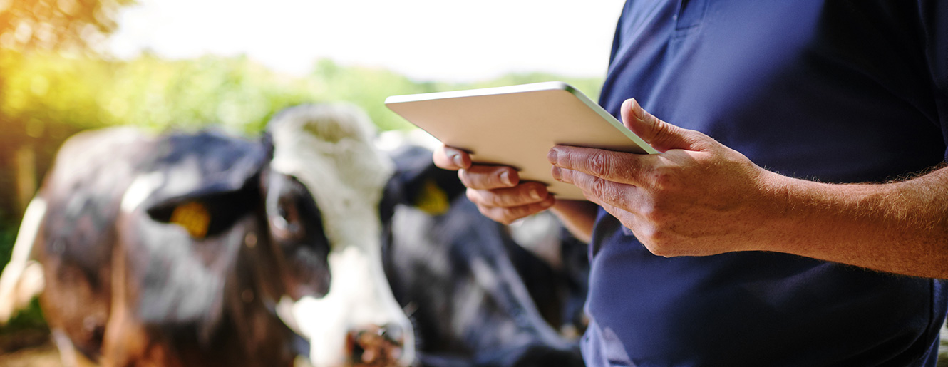 Farmer with cows while using a smart tablet